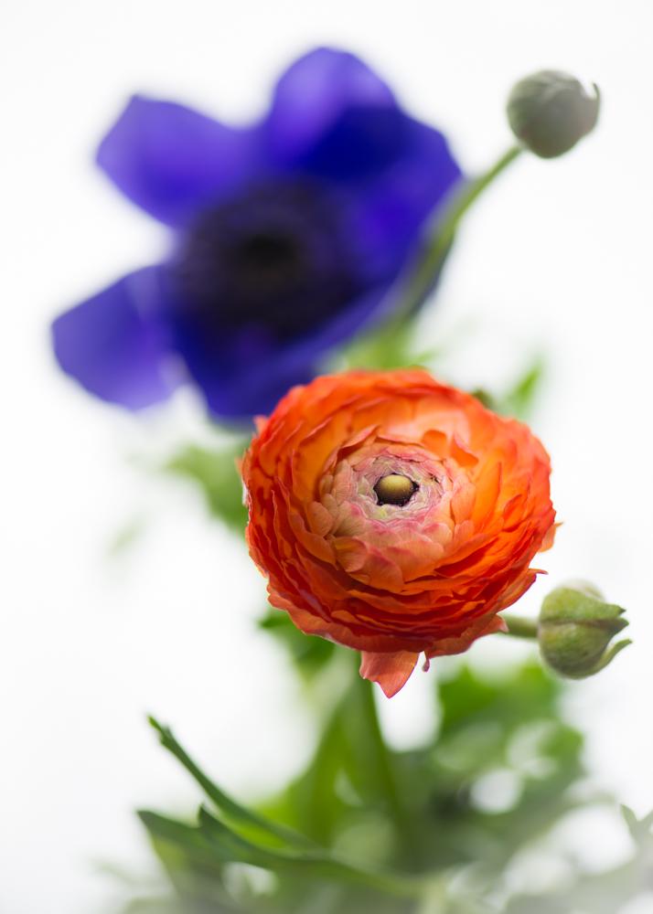 Ranukel mit Anemone