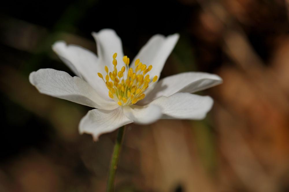 Ranuncolacea - Anemone
