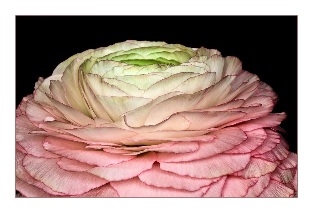 Ranunculaceae - Rose of Spring - Rose de printemps - Ranunkeln, Rosen des Frühlings