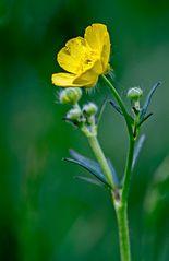 Ranunculus (Boterbloem)