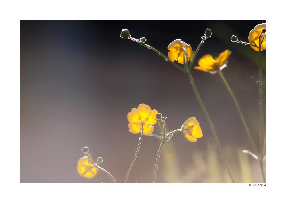 Ranunculus ..