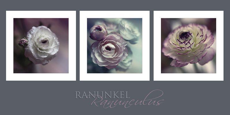 Ranunculus.....