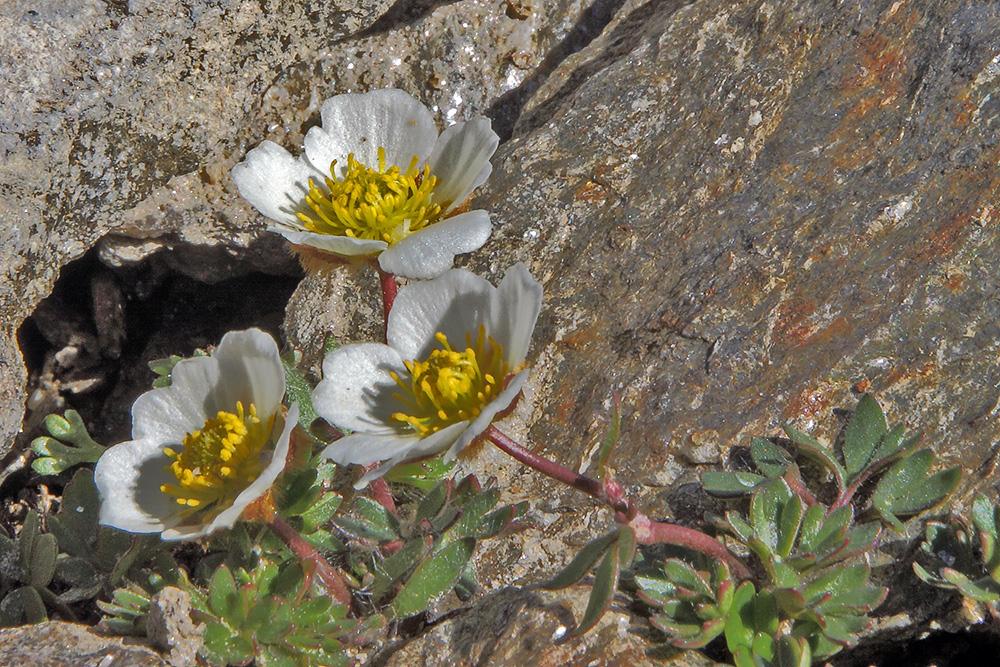 Ranunculus glacialis - Gletscherhahnenfuß