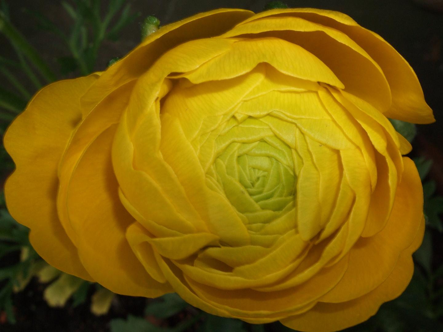Ranunkel in gelb