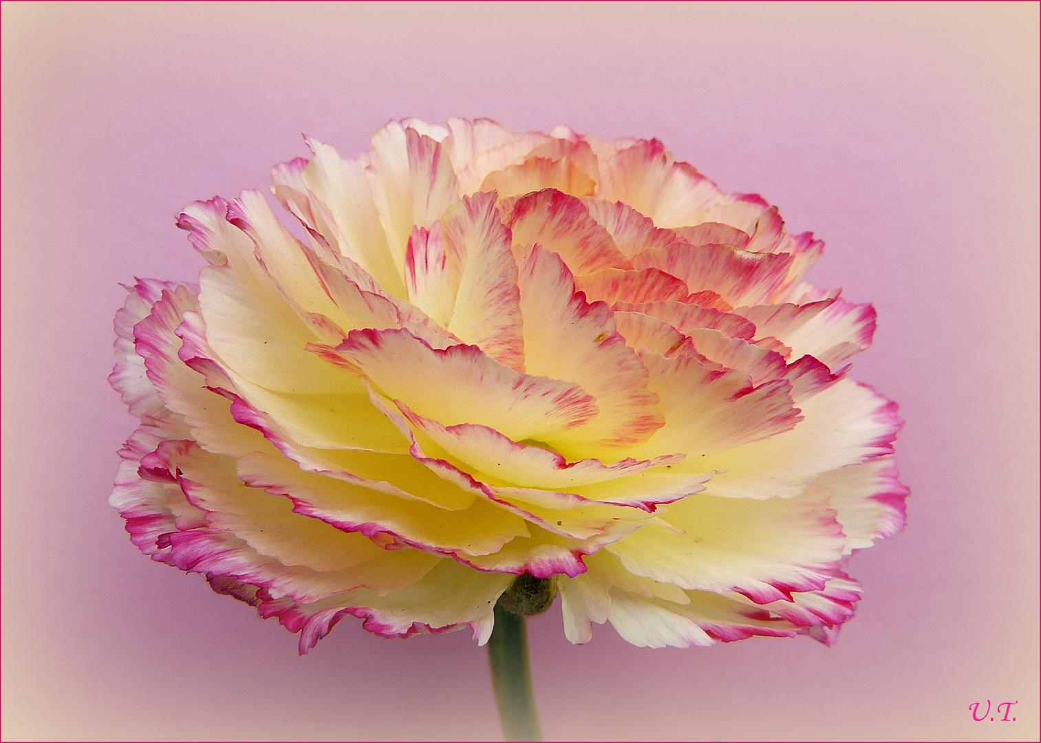 Ranunkel - rosé