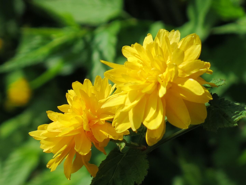 Ranunkelröschen - Kerria japonica auch Goldröschen