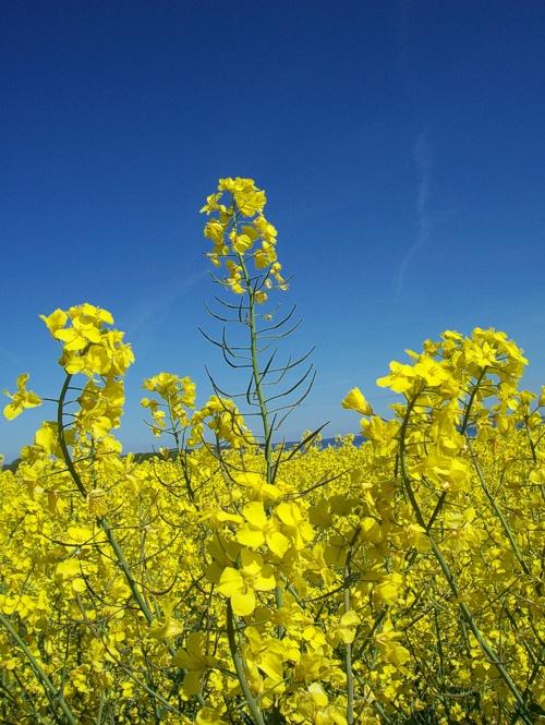 Raps - das schönste Gelb des Frühlings