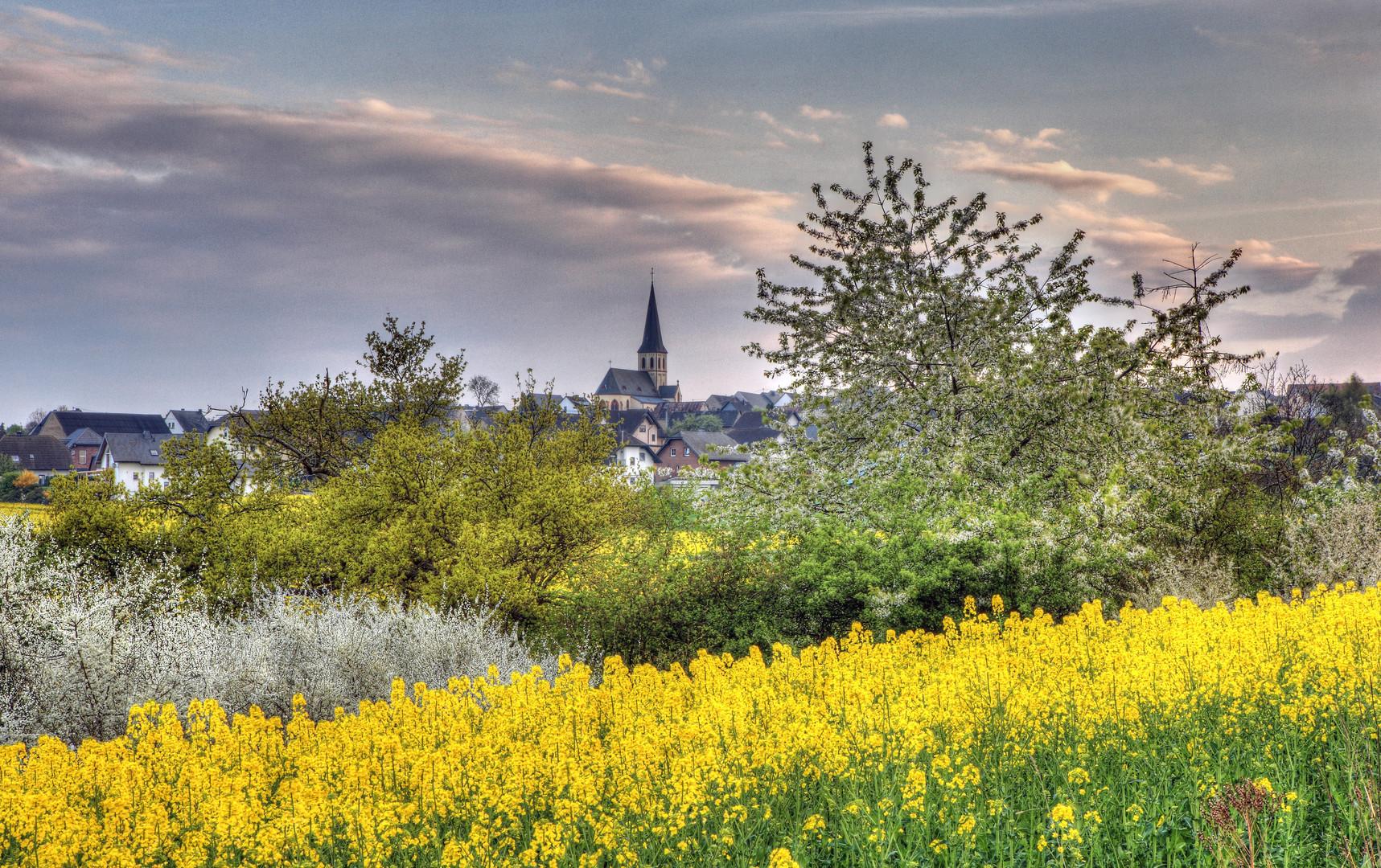 Rapsblüten bei Illerich i.d.Eifel