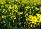 Rapsblüten - starke Pflanzen