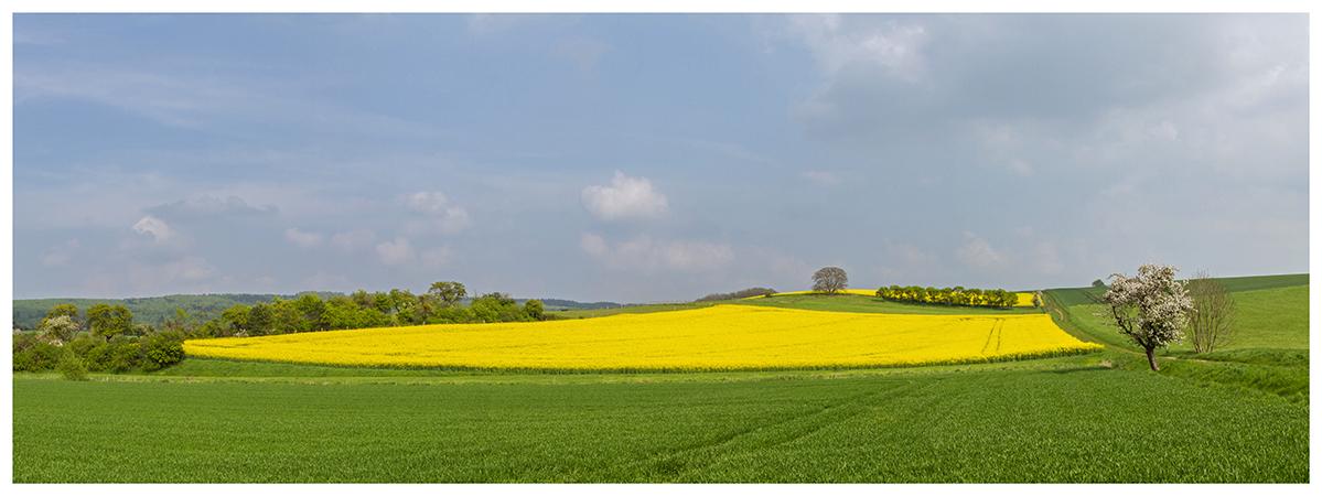 Rapsfeld als Panorama