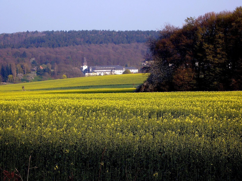 Rapsfeld im Rheingau im Hintergrund Abtei St. Vincenzstift.