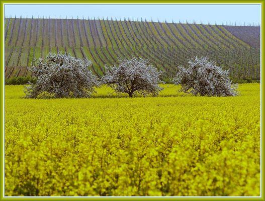 Rapsfeld mit blühenden Apfelbäumen