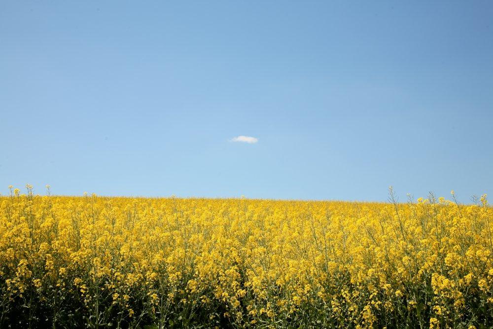 """Rapsfeld mit der einzigen """"Wolke"""""""