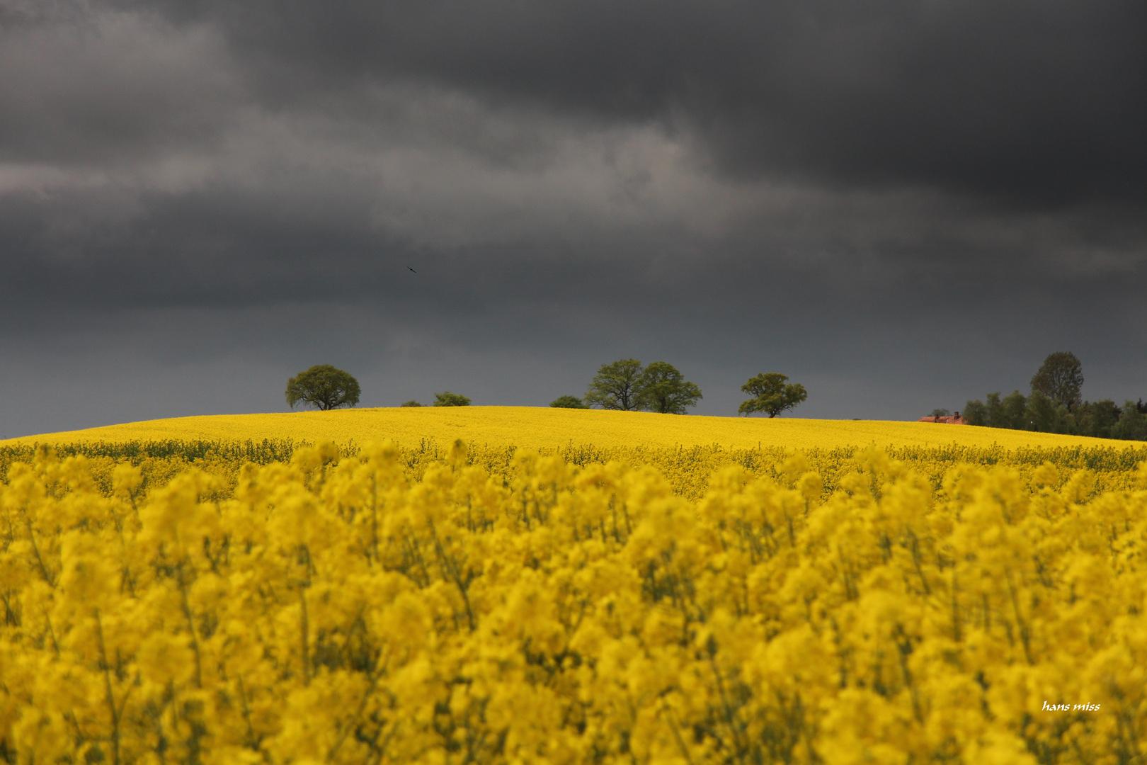 Rapsfeld mit Gewitterwolken im Hintergrund