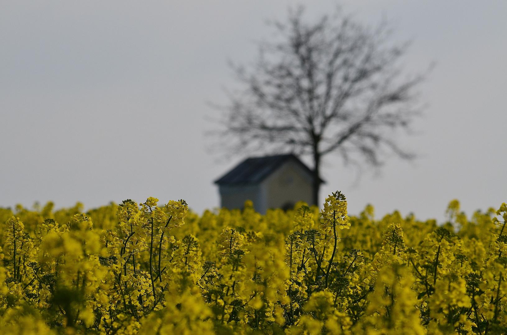Rapsfeld mit kirchlichem Hintergrund