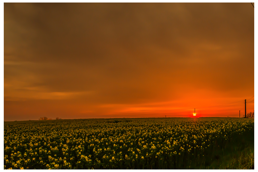 Rapsfeld mit Sonnenuntergang