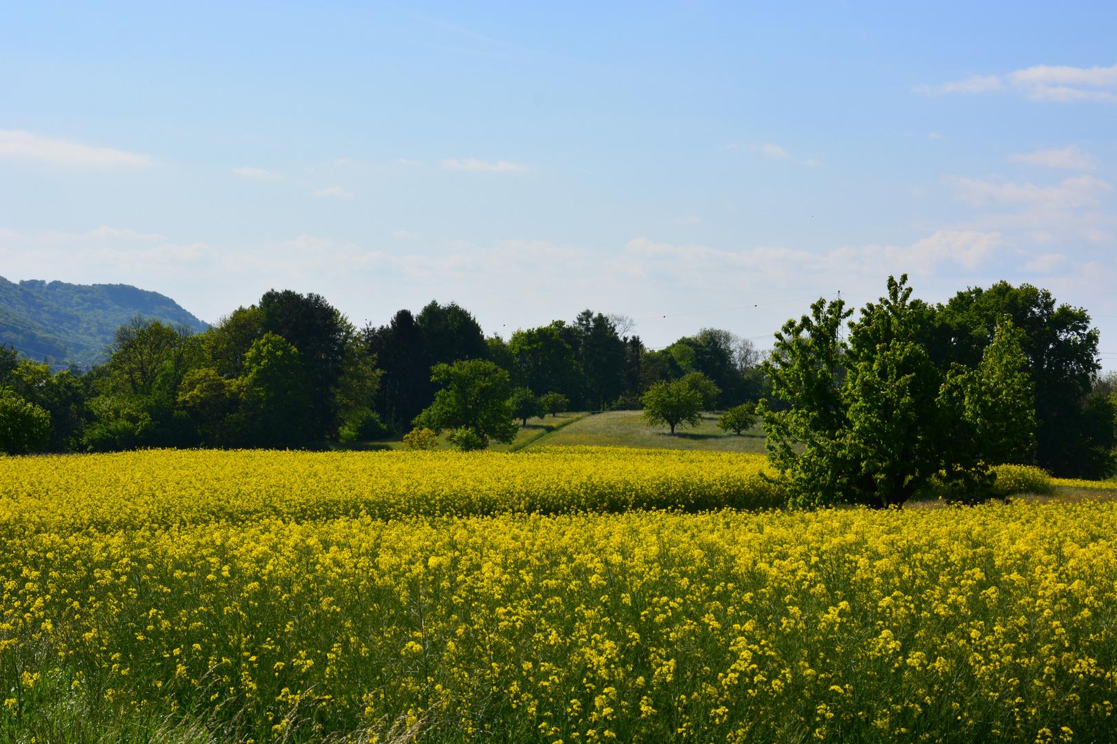 Rapsfeld mit Wald im Hintergrund