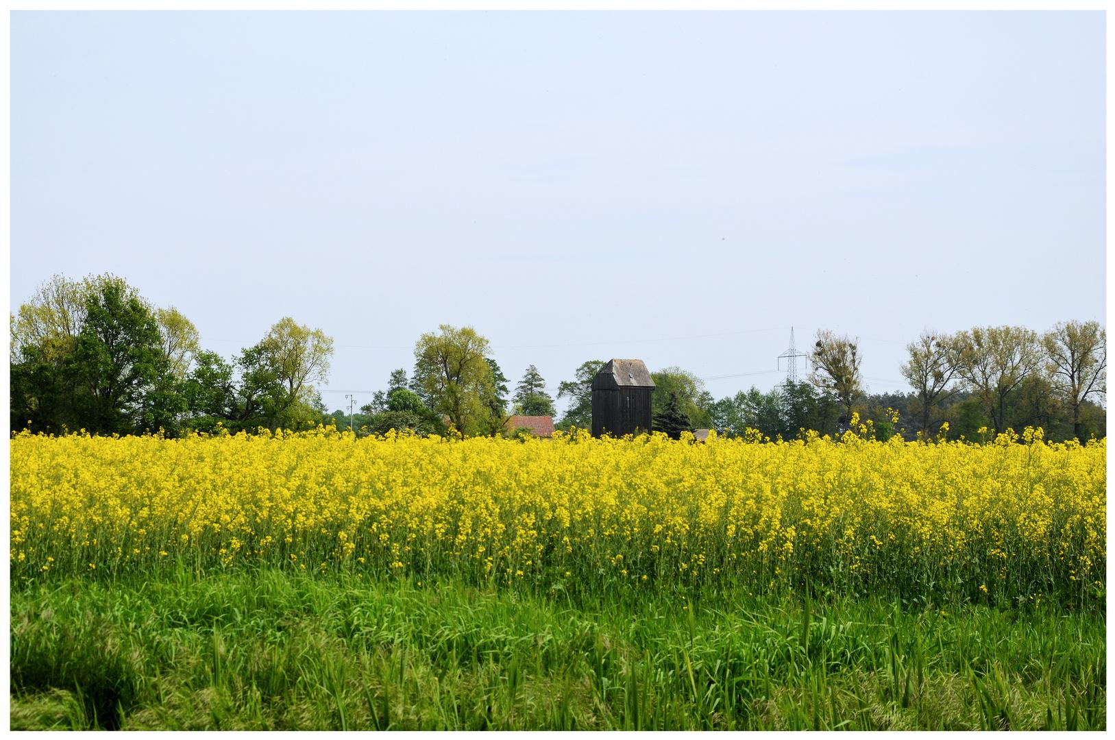 Rapsfeld und alte Windmühle