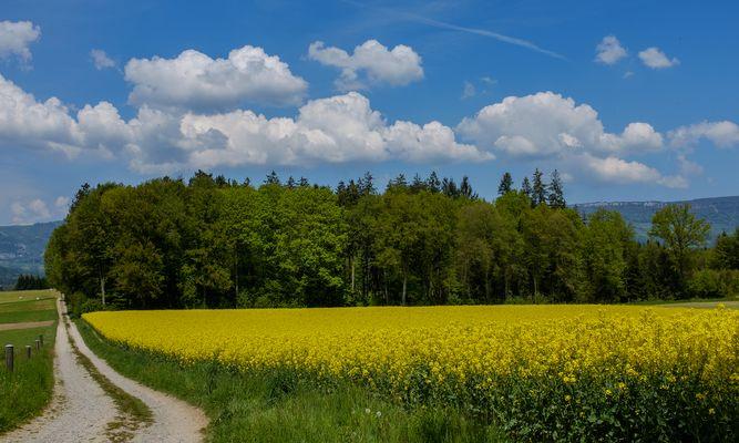 Rapsfeld und Wolken