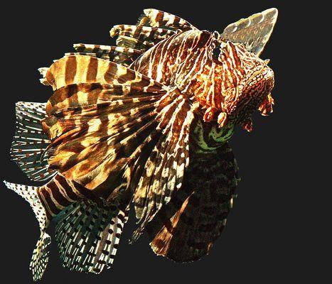 Rascasse volante  -  Aquarium des Lagons, Nouméa