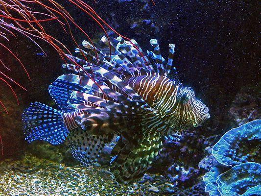 Rascasse volante ou poissson-lion -- Aquarium des lagons à Nouméa