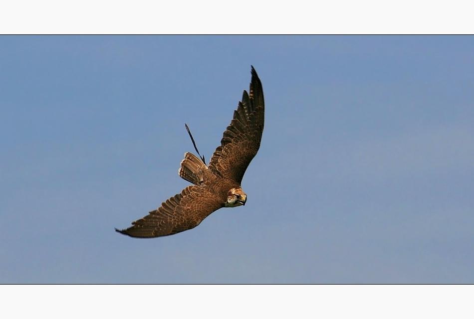 Rasender Falke