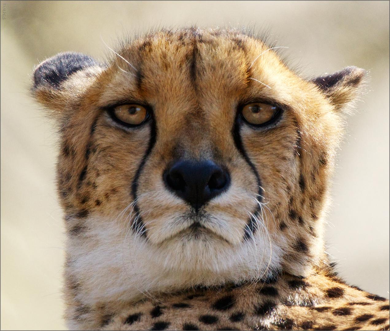 Rashid der Gepard