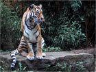Rasputin, der schöne Tiger...