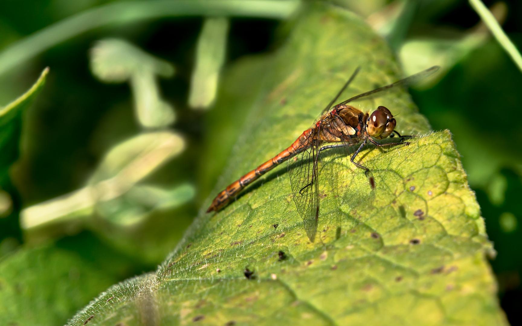 Rastende Libelle