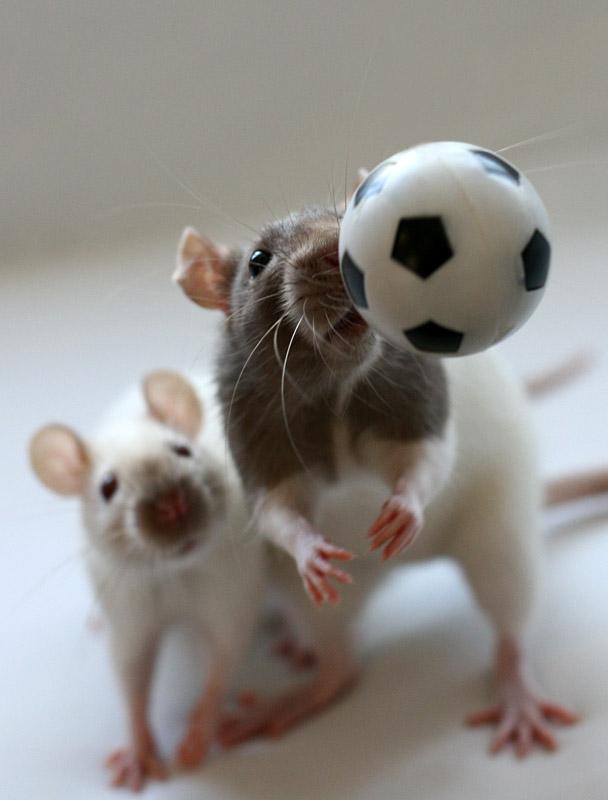 Rats - Ronaldo und Messi -
