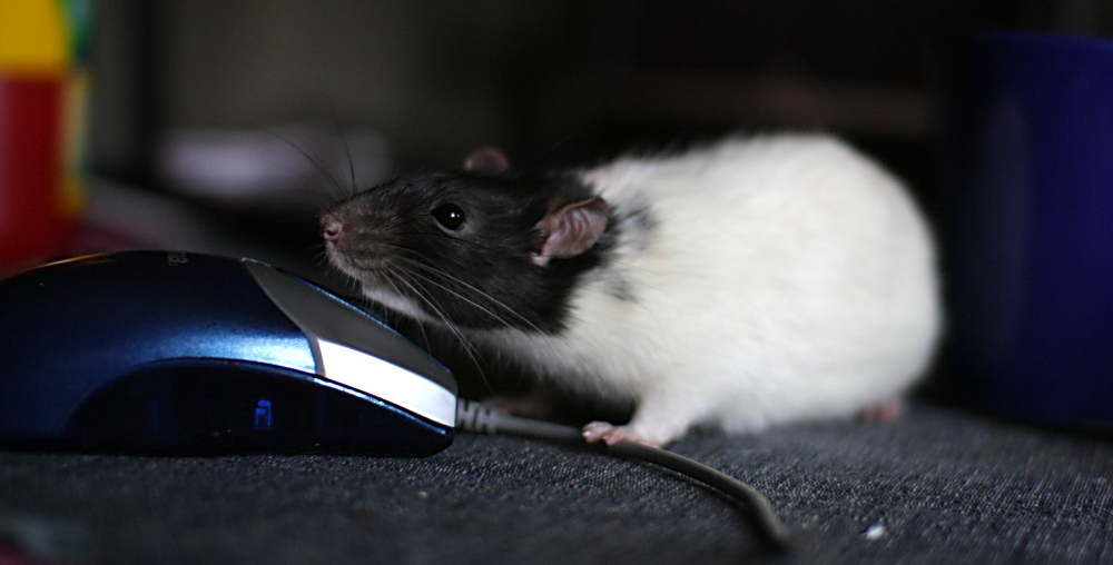 Ratte trifft Maus