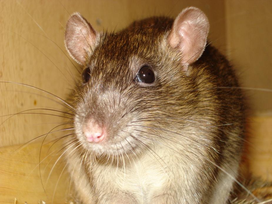 Ratte von ihrer schönsten Seite