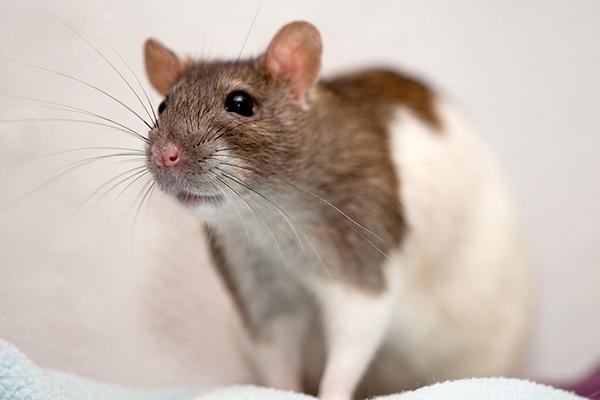 Rattendame Flöckchen