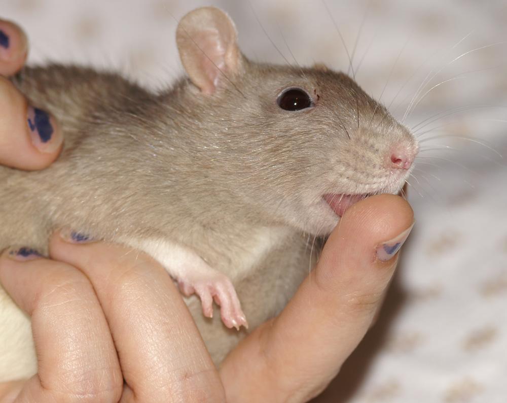 Rattenhandkuss