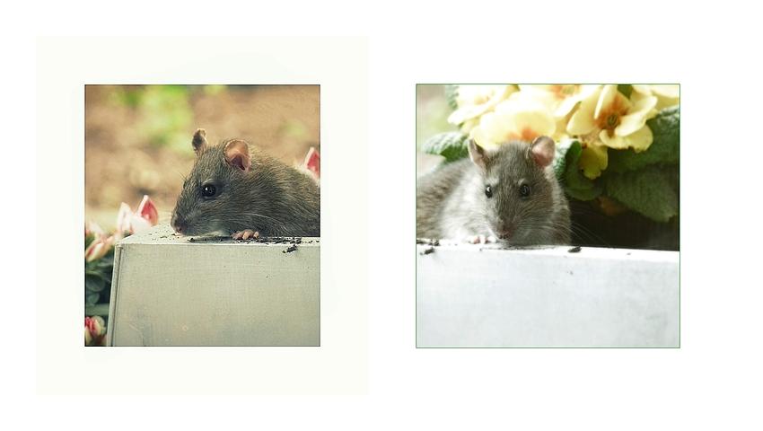~ Rattenplage ll .....