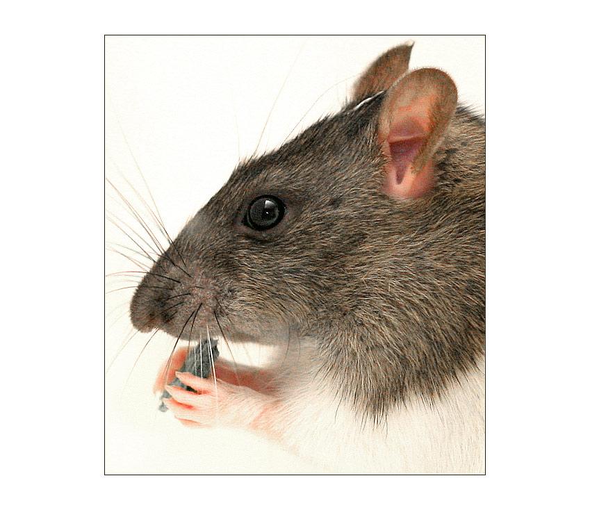 Rattenporträt, Generation II