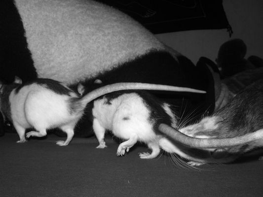 Rattenwanderung