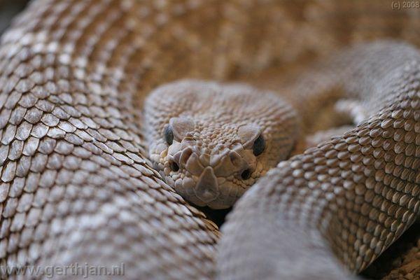 Rattle snake.