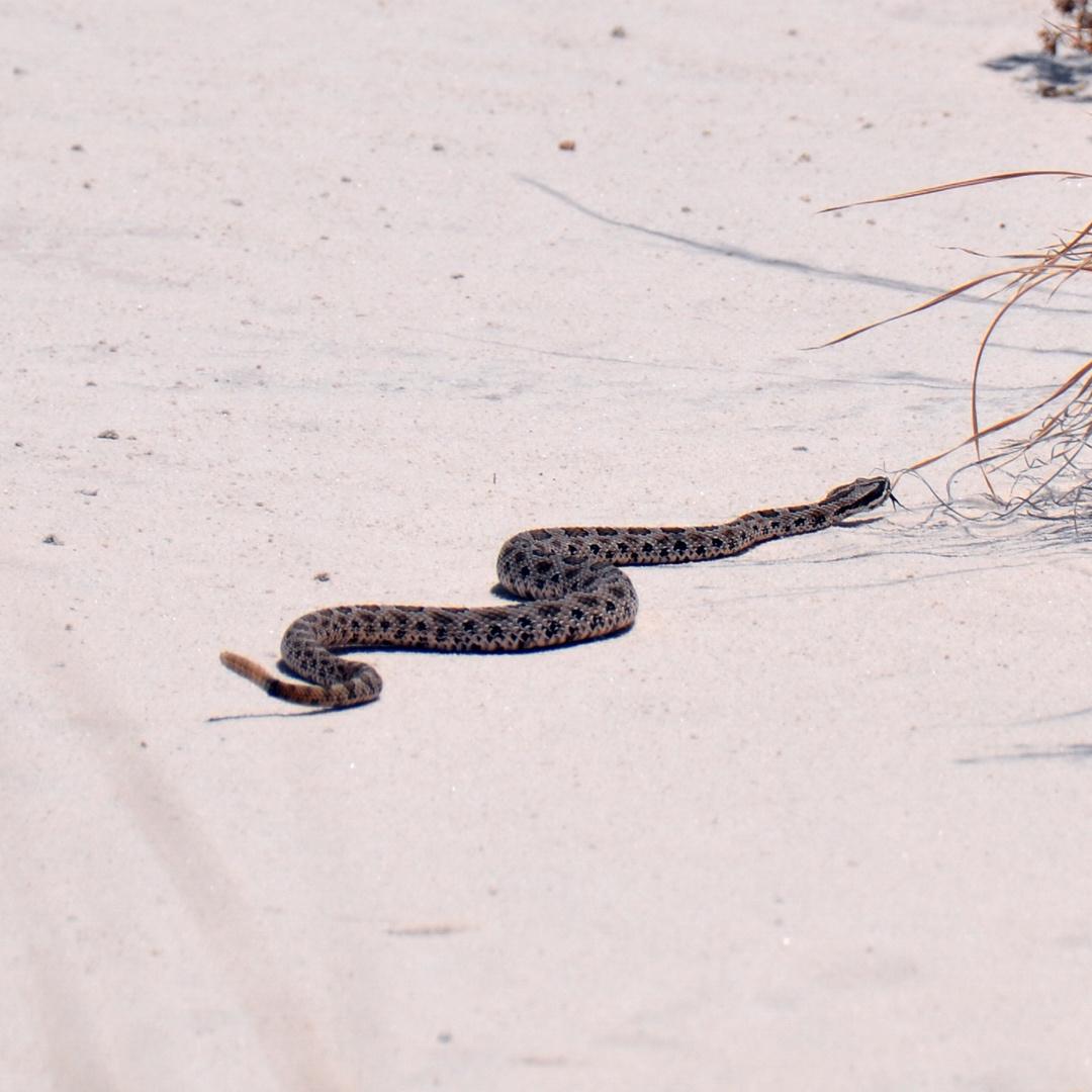 Rattlesnake im White Sands NM in New Mexico