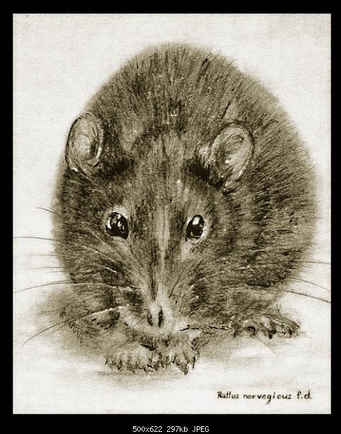 rattus norvegicus f.d.