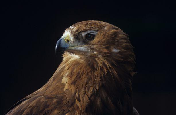 Raubadler (Aquila rapax)