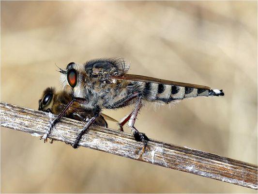 Raubfliege mit erbeuteter Biene