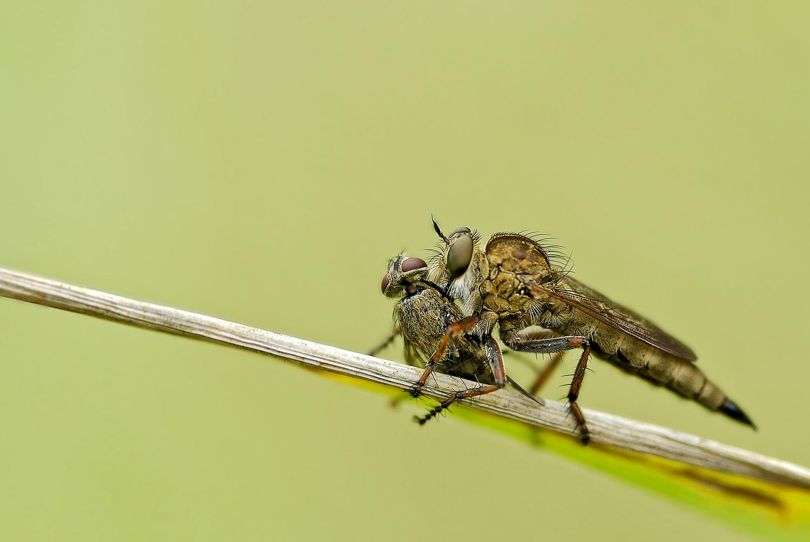 Raubfliege raubt Fliege