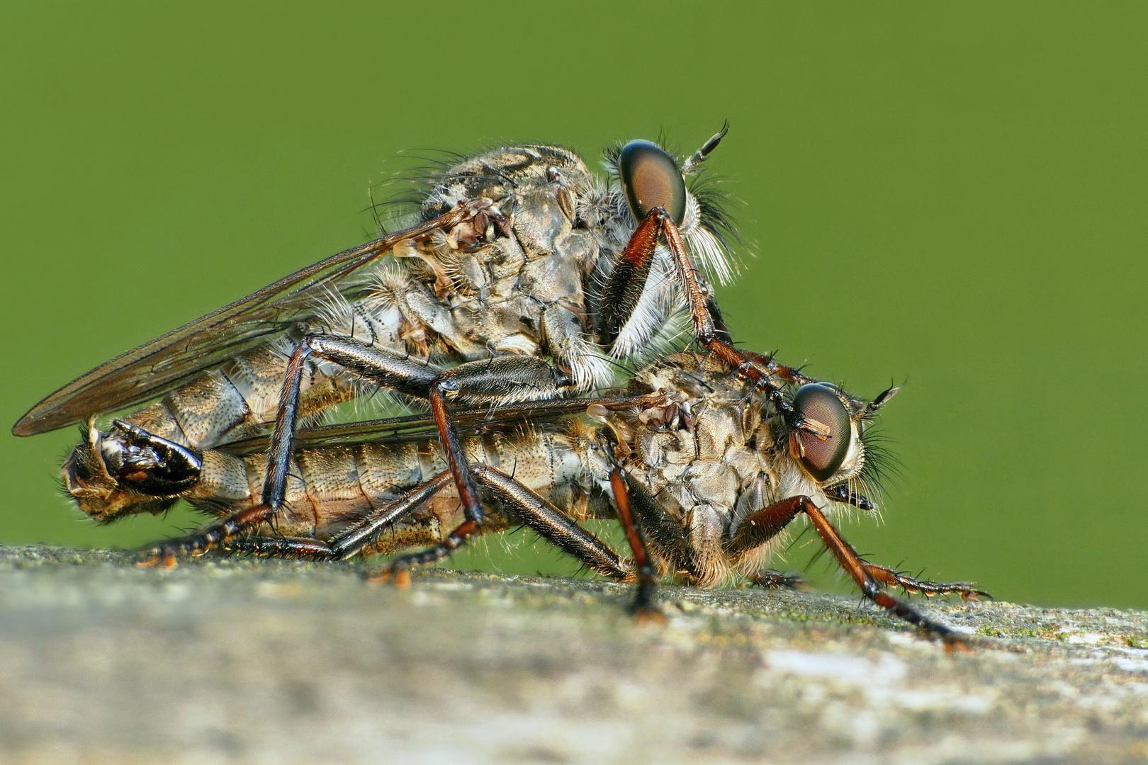 Raubfliegen (Asilidae)