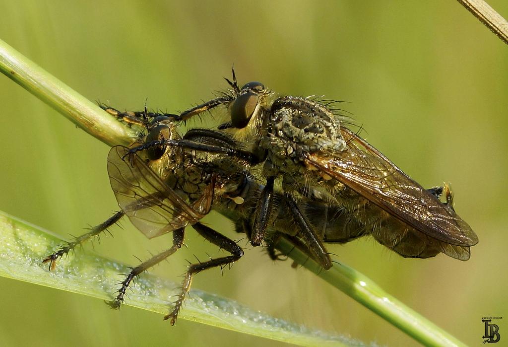 Raubfliegen bei der Paarung