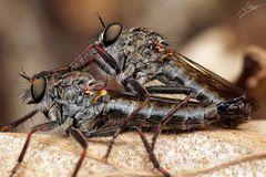Raubfliegen-Paarung