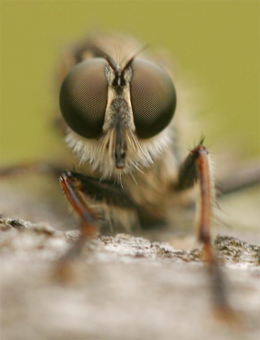 Raubfliegenportrait