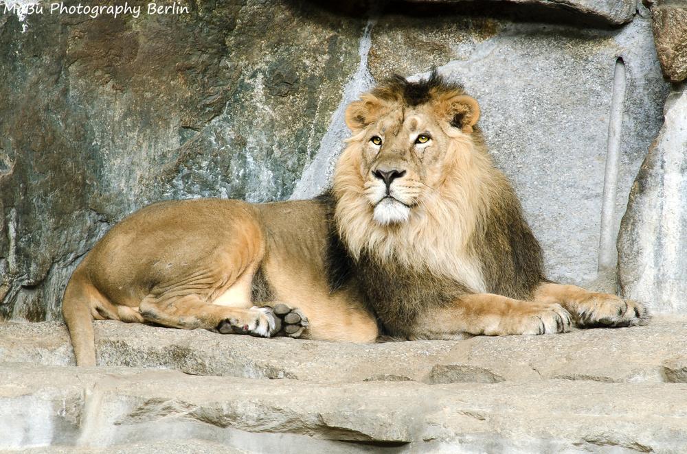 Raubkatze - Löwe