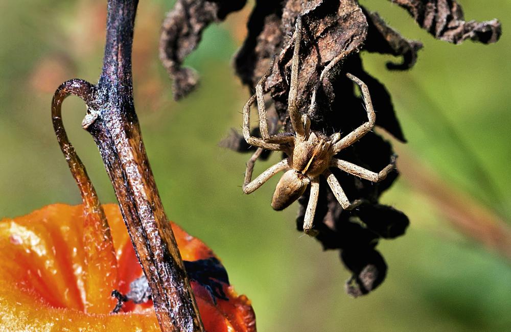 Raubspinne auf verwelkten Blättern einer Lampionblume!