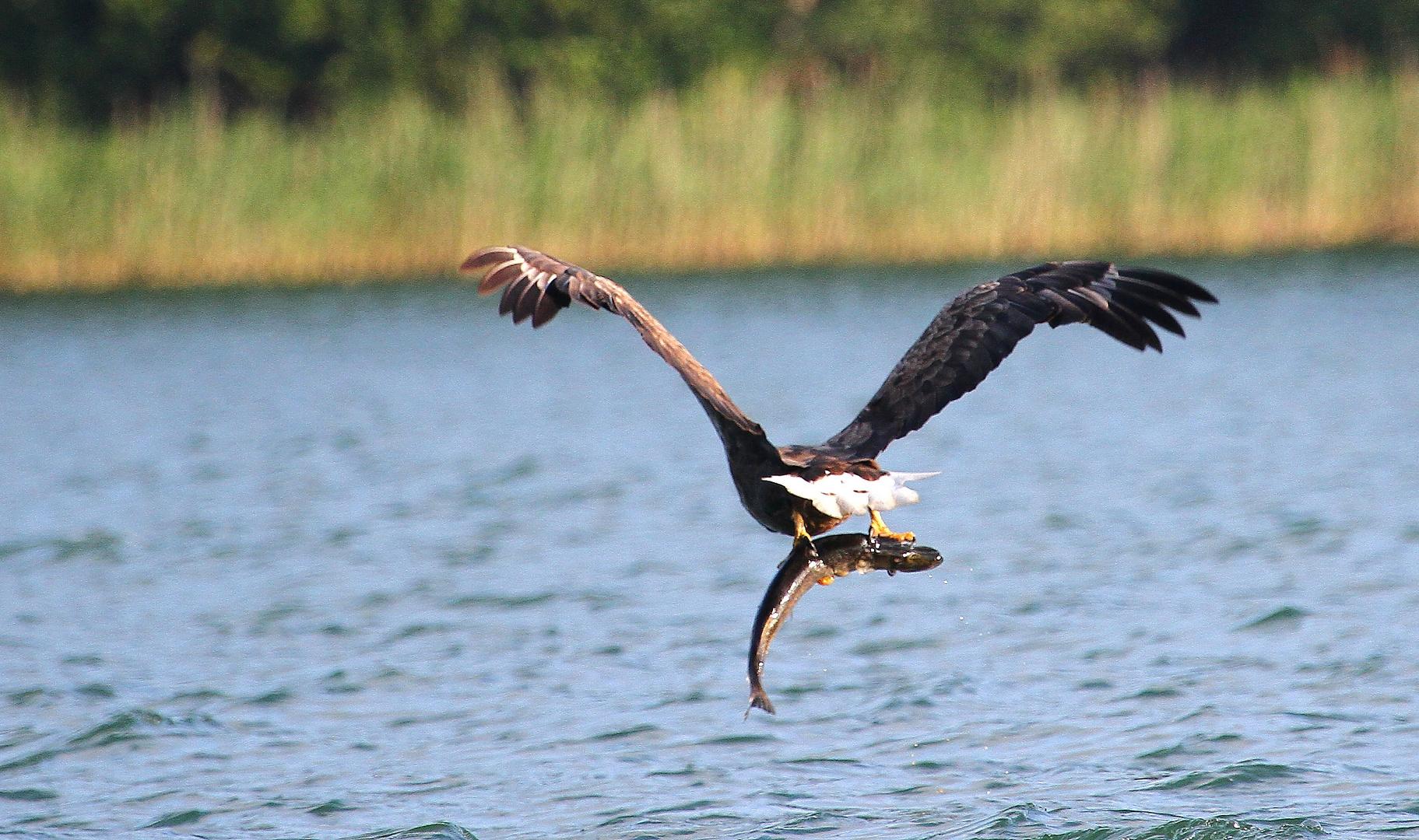 Raubvogel fängt Raubfisch (Hecht)